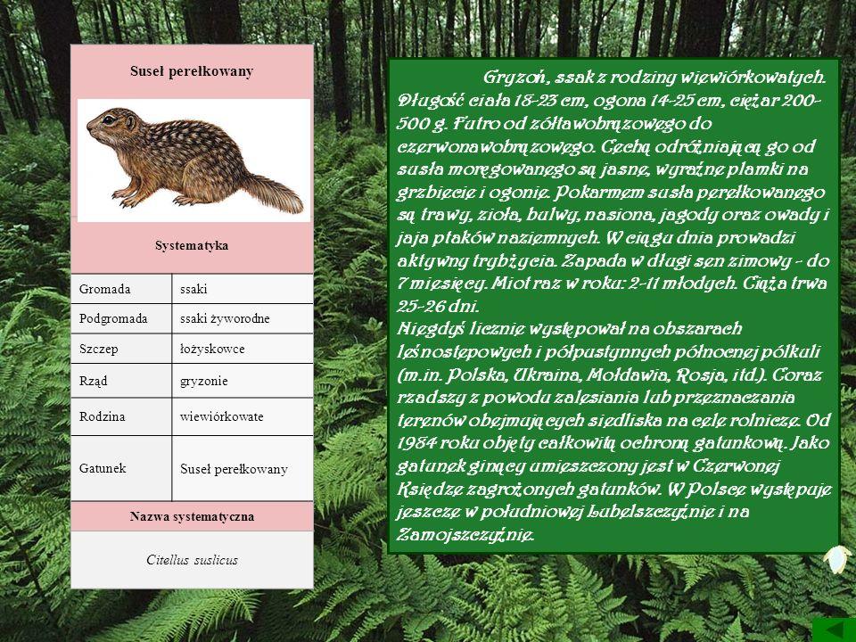 Suseł perełkowany Systematyka Gromadassaki Podgromadassaki żyworodne Szczepłożyskowce Rządgryzonie Rodzinawiewiórkowate Gatunek Suseł perełkowany Nazw