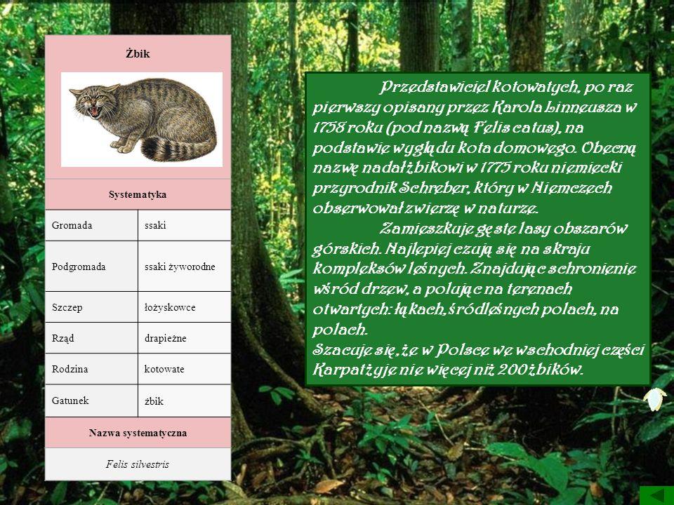 Żbik Systematyka Gromadassaki Podgromadassaki żyworodne Szczepłożyskowce Rząddrapieżne Rodzinakotowate Gatunek żbik Nazwa systematyczna Felis silvestr