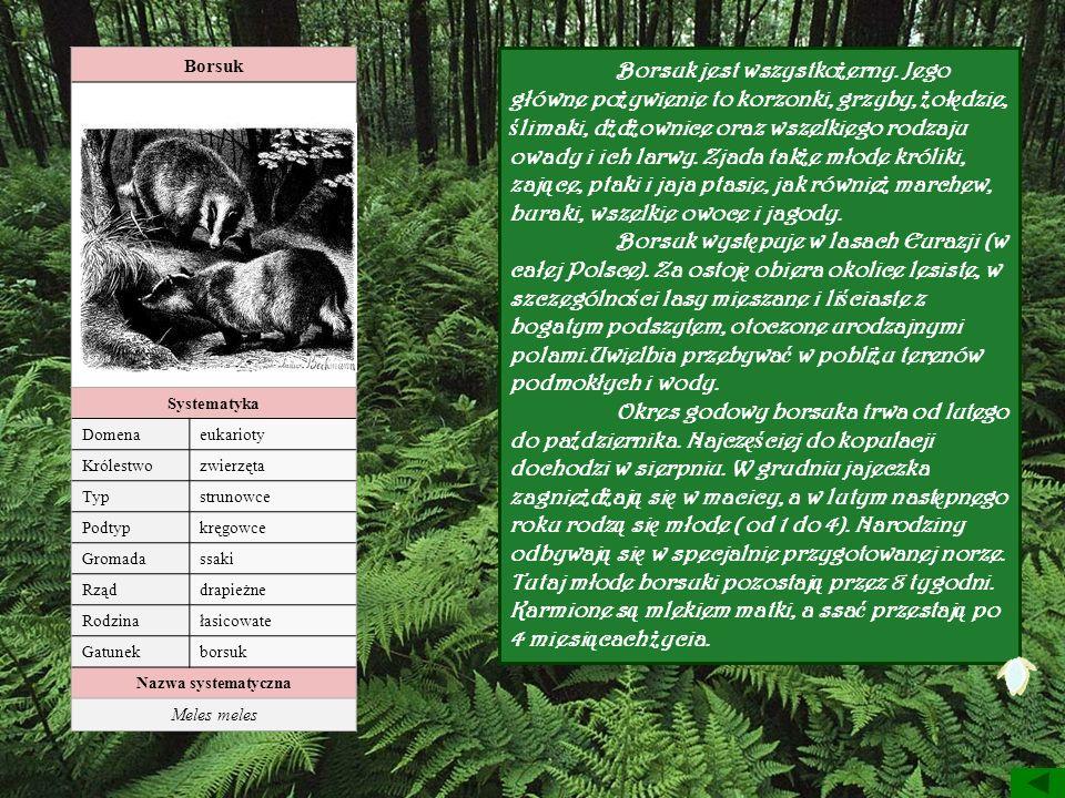 Borsuk Systematyka Domenaeukarioty Królestwozwierzęta Typstrunowce Podtypkręgowce Gromadassaki Rząddrapieżne Rodzinałasicowate Gatunekborsuk Nazwa sys