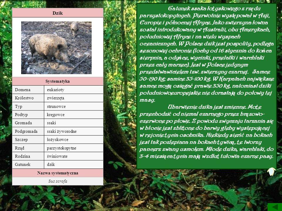 Dzik Systematyka Domenaeukarioty Królestwozwierzęta Typstrunowce Podtypkręgowce Gromadassaki Podgromadassaki żyworodne Szczepłożyskowce Rządparzystoko