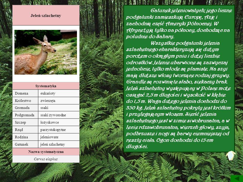 Jeleń szlachetny Systematyka Domenaeukarioty Królestwozwierzęta Gromadassaki Podgromadassaki żyworodne Szczepłożyskowce Rządparzystokopytne Rodzinajel