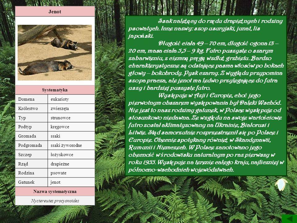 Jenot Systematyka Domenaeukarioty Królestwozwierzęta Typstrunowce Podtypkręgowce Gromadassaki Podgromadassaki żyworodne Szczepłożyskowce Rząddrapieżne