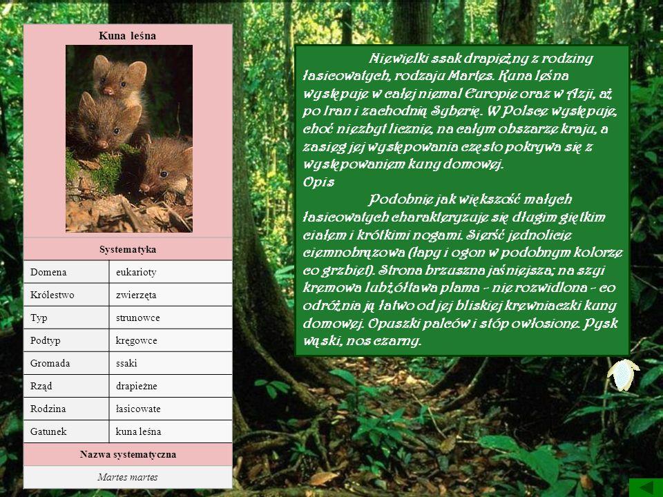 Kuna leśna Systematyka Domenaeukarioty Królestwozwierzęta Typstrunowce Podtypkręgowce Gromadassaki Rząddrapieżne Rodzinałasicowate Gatunekkuna leśna N