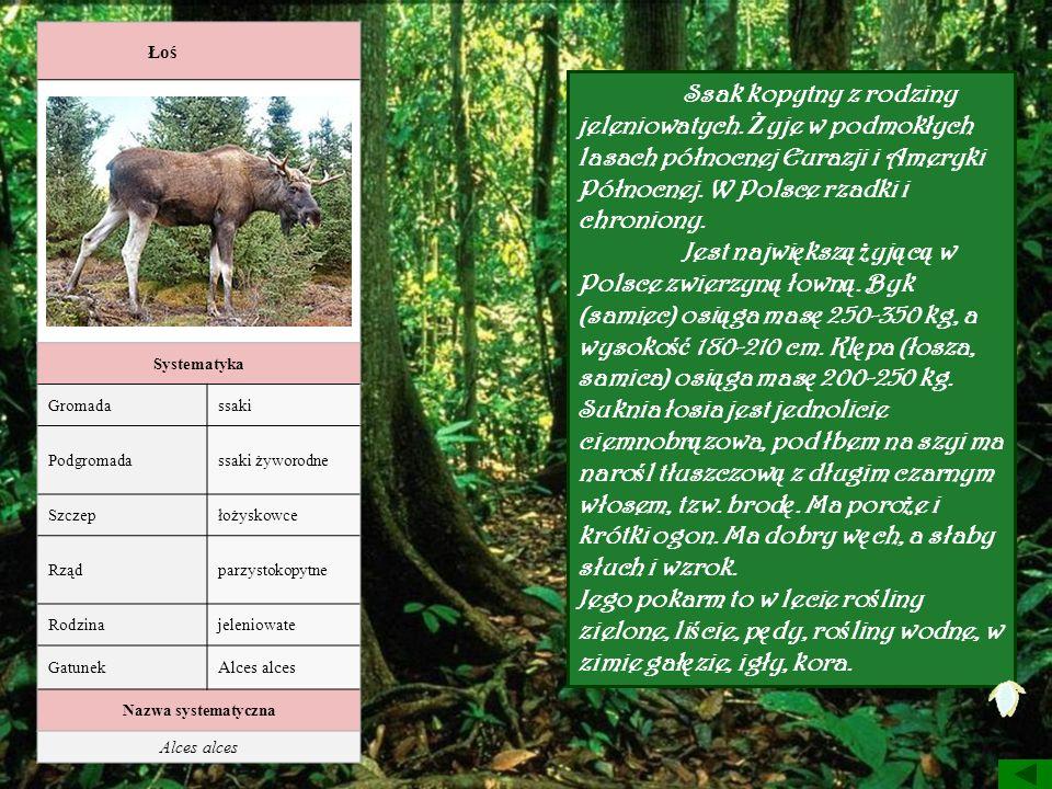 Łoś Systematyka Gromadassaki Podgromadassaki żyworodne Szczepłożyskowce Rządparzystokopytne Rodzinajeleniowate Gatunek Alces alces Nazwa systematyczna