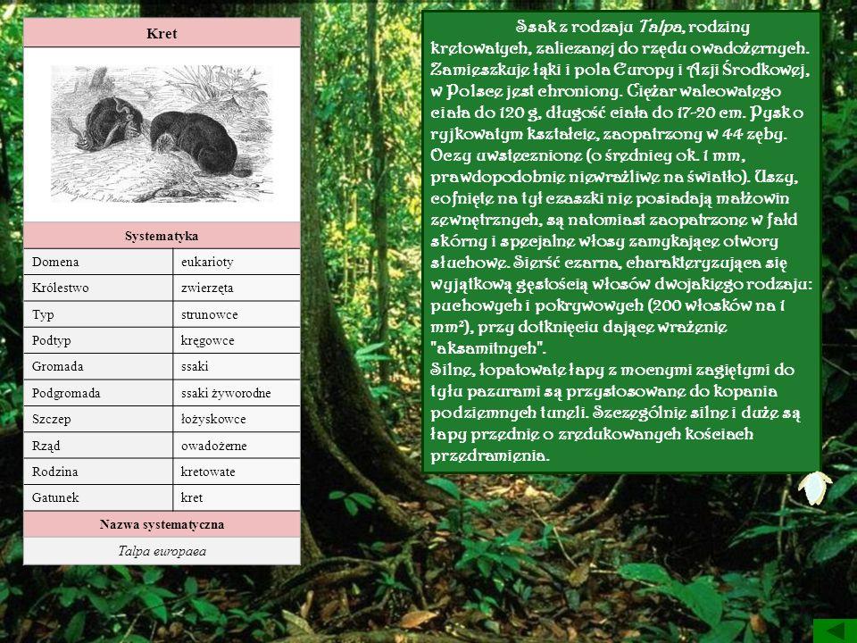 Kret Systematyka Domenaeukarioty Królestwozwierzęta Typstrunowce Podtypkręgowce Gromadassaki Podgromadassaki żyworodne Szczepłożyskowce Rządowadożerne