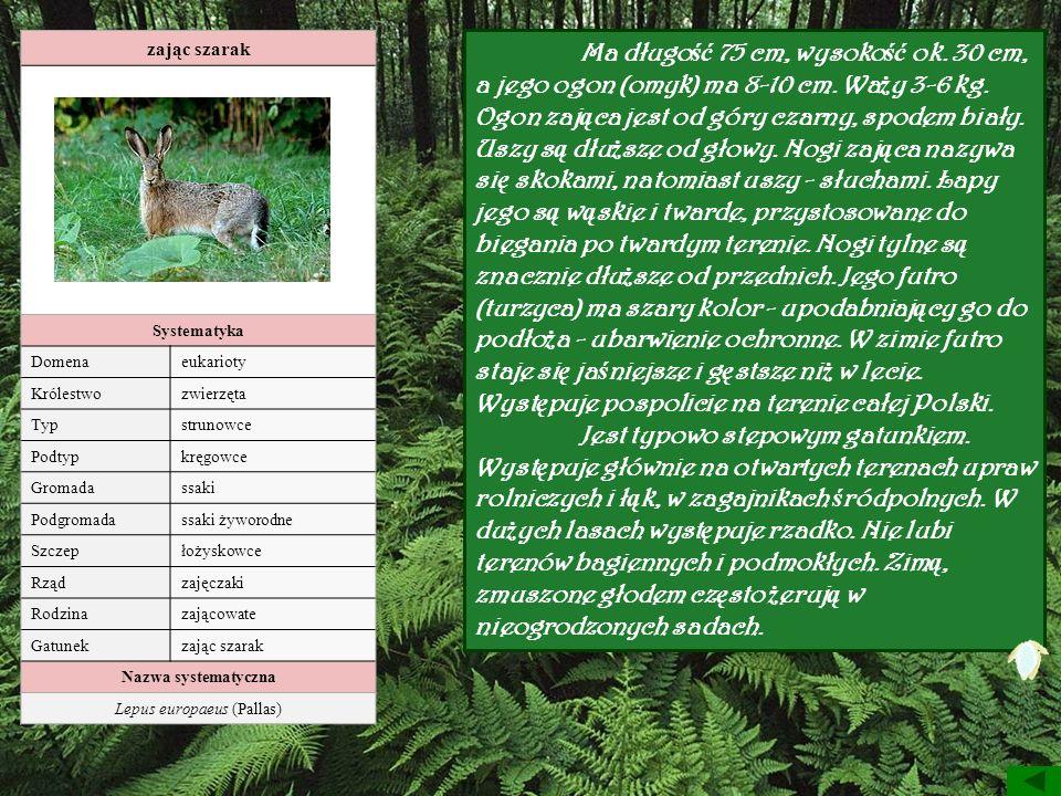 zając szarak Systematyka Domenaeukarioty Królestwozwierzęta Typstrunowce Podtypkręgowce Gromadassaki Podgromadassaki żyworodne Szczepłożyskowce Rządza
