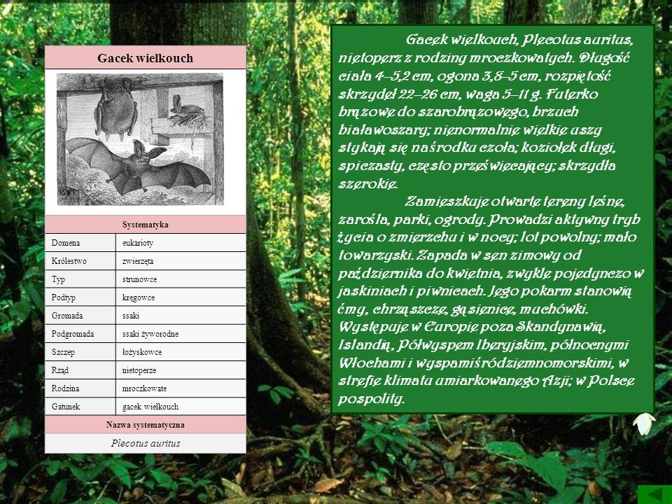 Gacek wielkouch Systematyka Domenaeukarioty Królestwozwierzęta Typstrunowce Podtypkręgowce Gromadassaki Podgromadassaki żyworodne Szczepłożyskowce Rzą