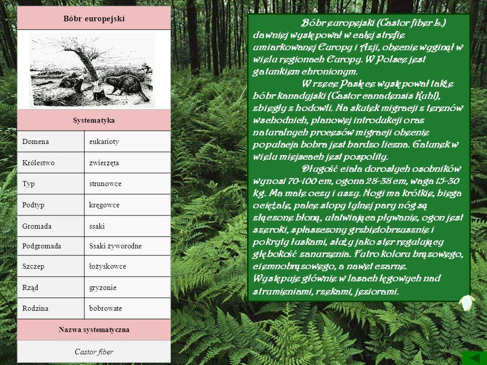 Bóbr europejski Bobry przy pracy Systematyka Domenaeukarioty Królestwozwierzęta Typstrunowce Podtypkręgowce Gromadassaki PodgromadaSsaki żyworodne Szc