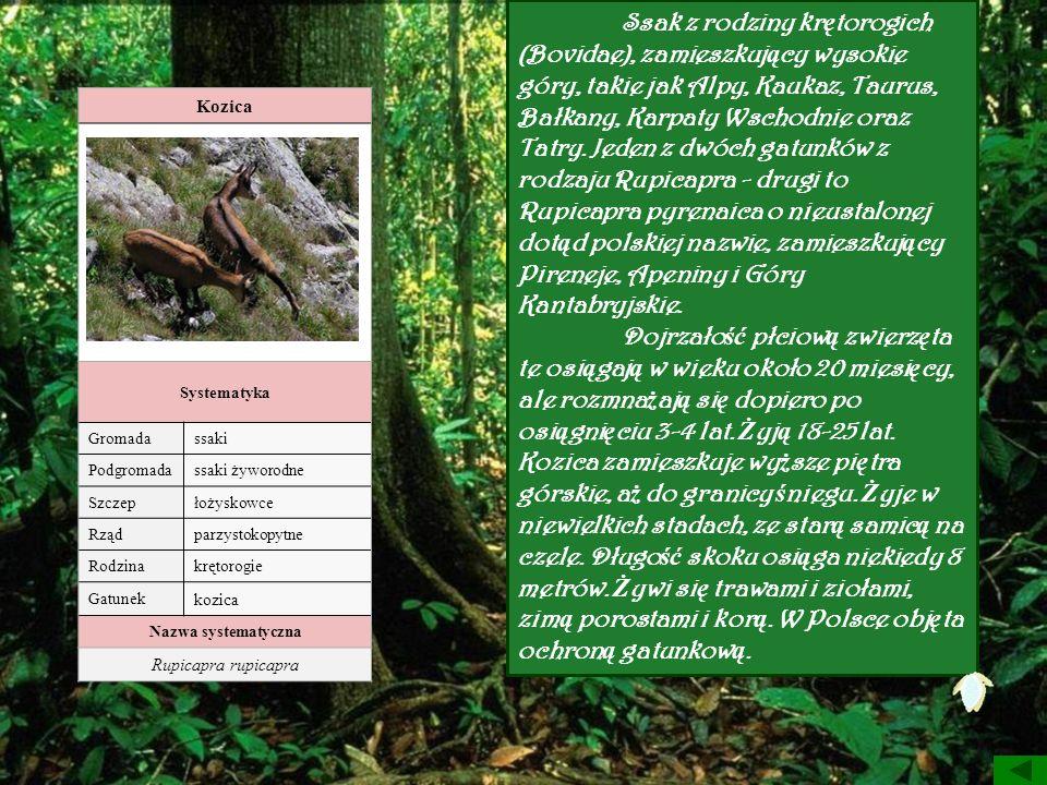 Kozica Systematyka Gromadassaki Podgromadassaki żyworodne Szczepłożyskowce Rządparzystokopytne Rodzinakrętorogie Gatunek kozica Nazwa systematyczna Ru