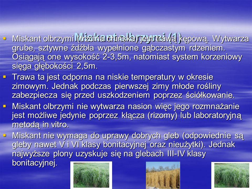 Miskant olbrzymi (1) Miskant olbrzymi (1) Miskant olbrzymi (trzcina chińska) jest trawą kępową.