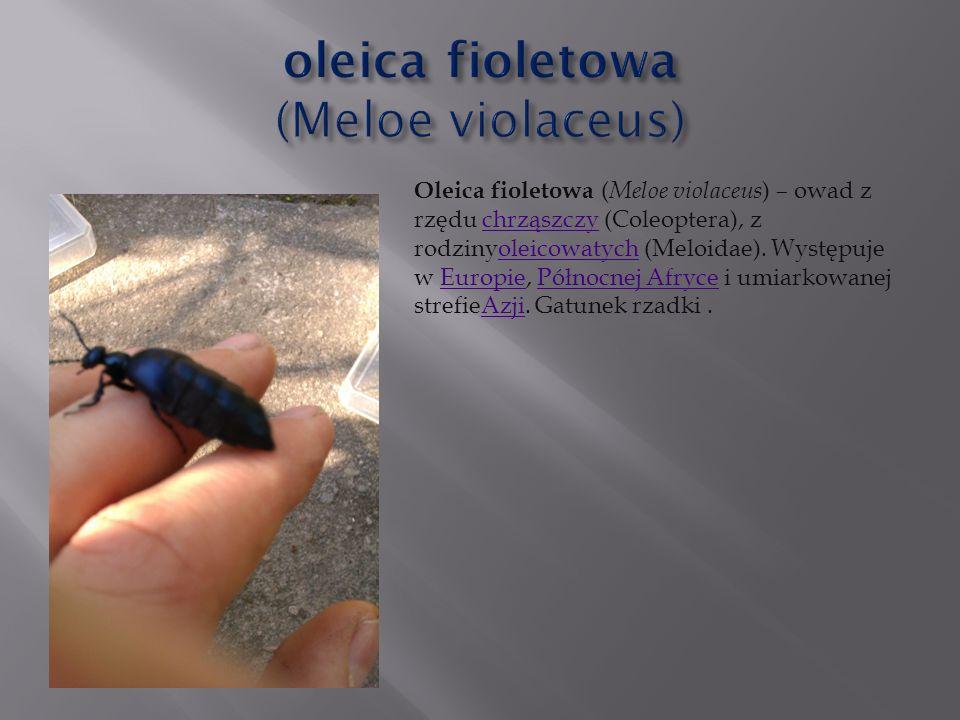 Oleica fioletowa ( Meloe violaceus ) – owad z rzędu chrząszczy (Coleoptera), z rodzinyoleicowatych (Meloidae). Występuje w Europie, Północnej Afryce i