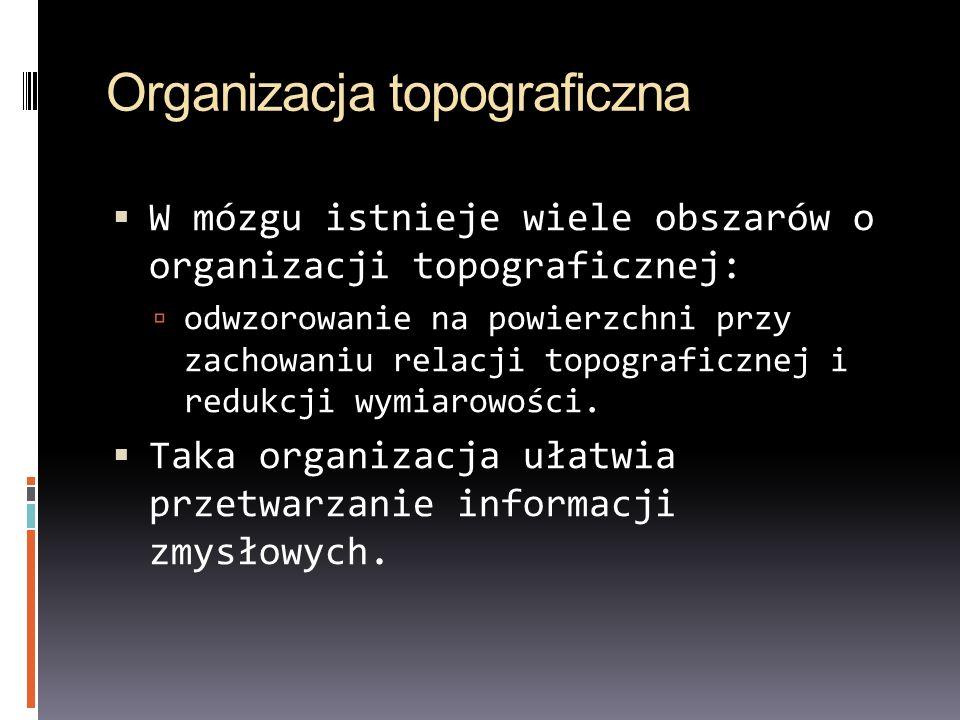 Organizacja topograficzna W mózgu istnieje wiele obszarów o organizacji topograficznej: odwzorowanie na powierzchni przy zachowaniu relacji topografic