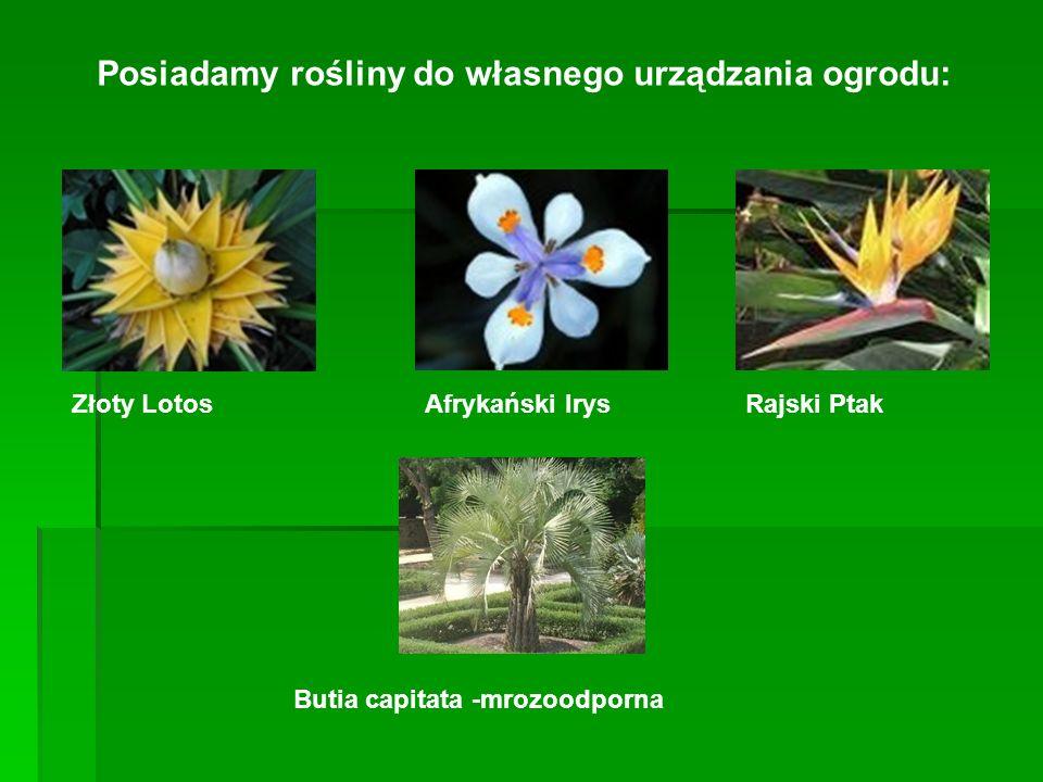 Posiadamy rośliny do własnego urządzania ogrodu: Złoty Lotos Afrykański IrysRajski Ptak Butia capitata -mrozoodporna