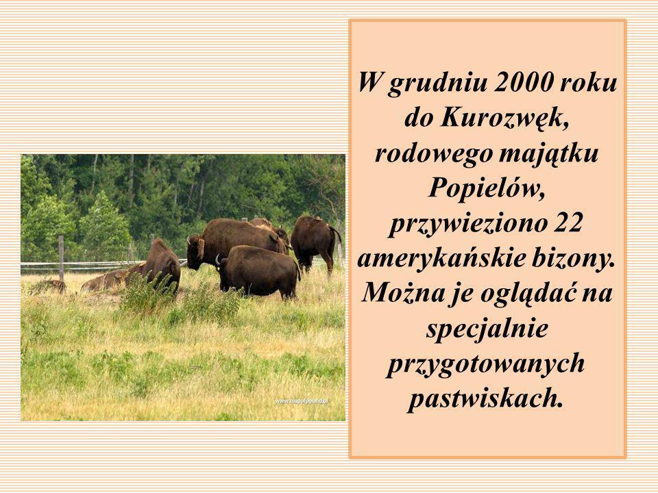 W grudniu 2000 roku do Kurozwęk, rodowego majątku Popielów, przywieziono 22 amerykańskie bizony. Można je oglądać na specjalnie przygotowanych pastwis