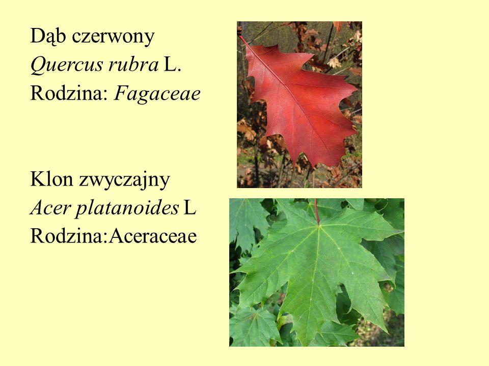 Dąb czerwony Quercus rubra L. Rodzina: Fagaceae Klon zwyczajny Acer platanoides L Rodzina:Aceraceae