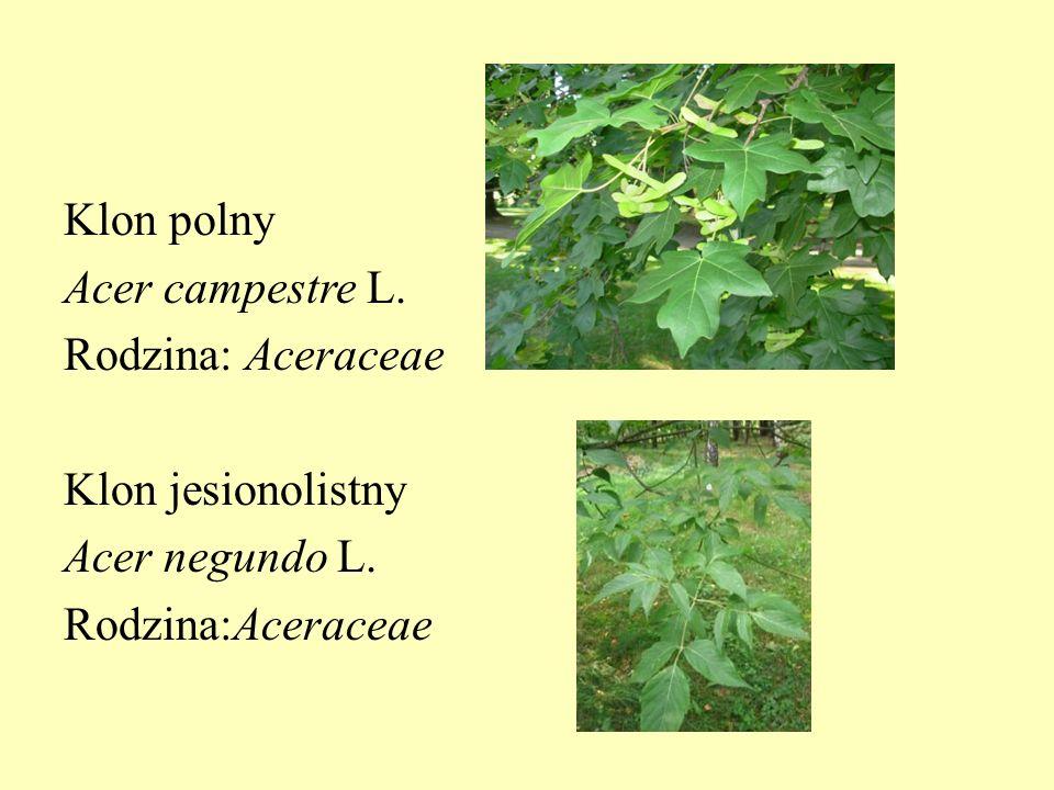 Klon polny Acer campestre L. Rodzina: Aceraceae Klon jesionolistny Acer negundo L. Rodzina:Aceraceae