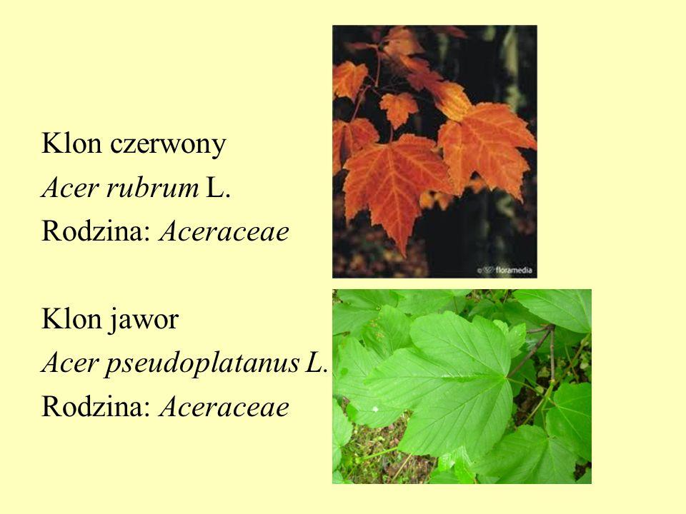 Klon czerwony Acer rubrum L. Rodzina: Aceraceae Klon jawor Acer pseudoplatanus L. Rodzina: Aceraceae