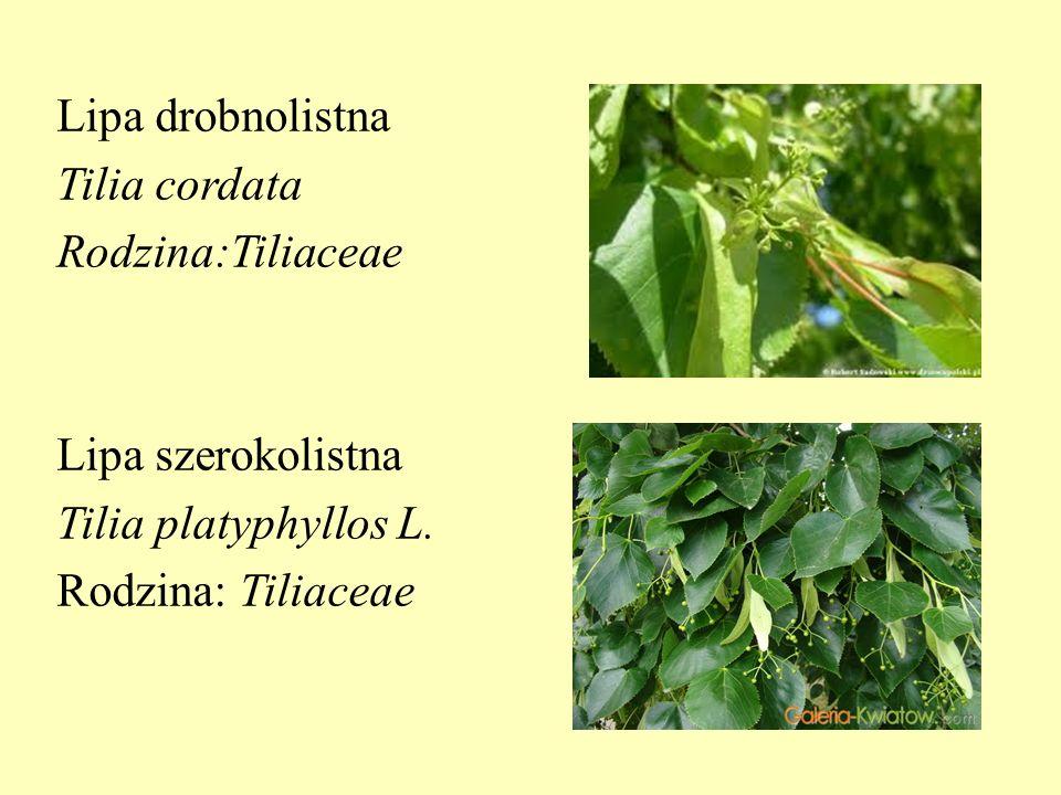 Lipa drobnolistna Tilia cordata Rodzina:Tiliaceae Lipa szerokolistna Tilia platyphyllos L. Rodzina: Tiliaceae