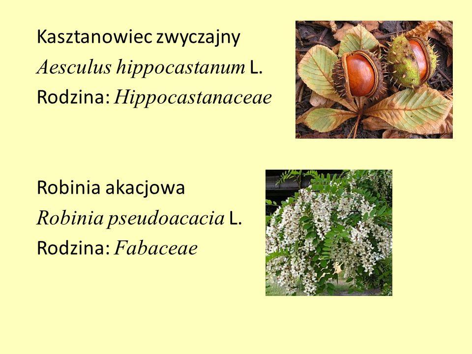 Kasztanowiec zwyczajny Aesculus hippocastanum L. Rodzina: Hippocastanaceae Robinia akacjowa Robinia pseudoacacia L. Rodzina: Fabaceae