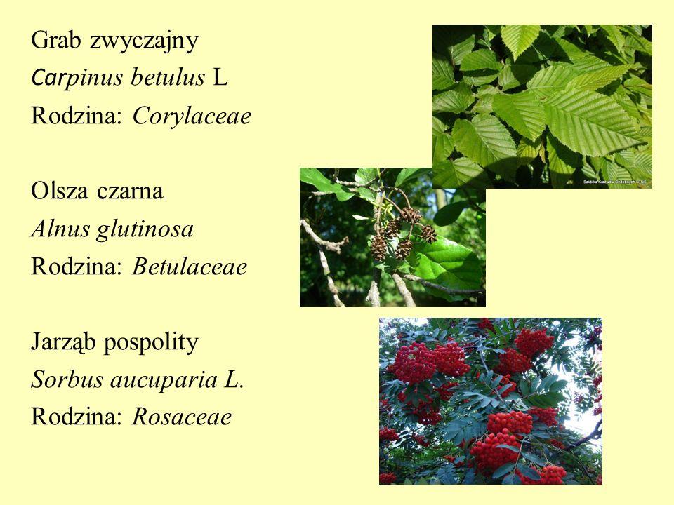 Grab zwyczajny Car pinus betulus L Rodzina: Corylaceae Olsza czarna Alnus glutinosa Rodzina: Betulaceae Jarząb pospolity Sorbus aucuparia L. Rodzina: