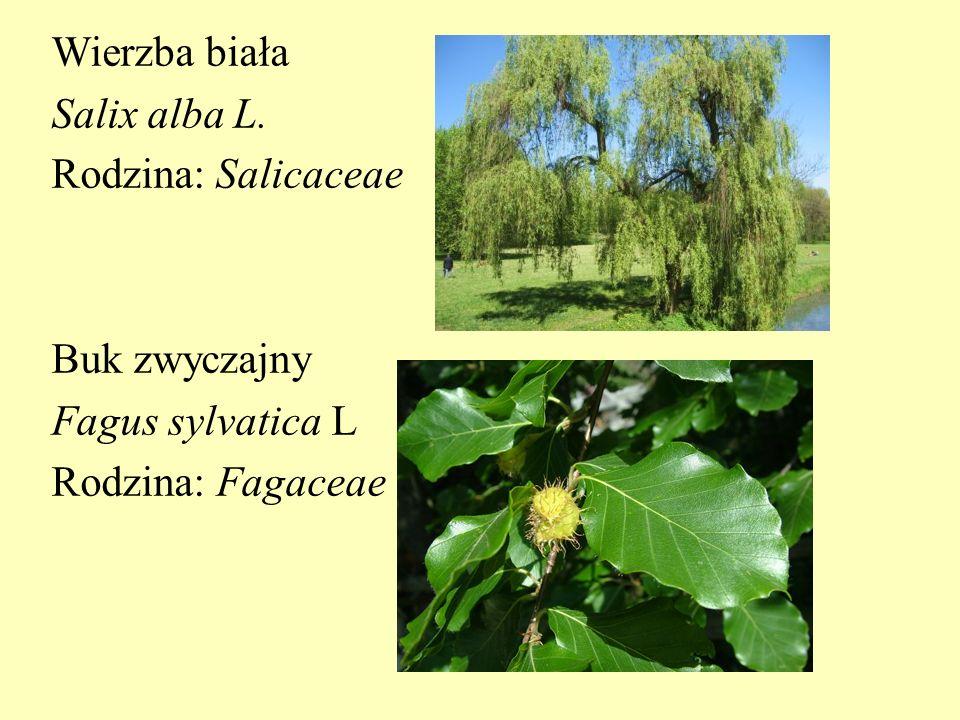 Wierzba biała Salix alba L. Rodzina: Salicaceae Buk zwyczajny Fagus sylvatica L Rodzina: Fagaceae