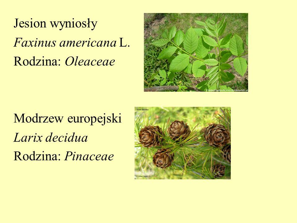 Jesion wyniosły Faxinus americana L. Rodzina: Oleaceae Modrzew europejski Larix decidua Rodzina: Pinaceae