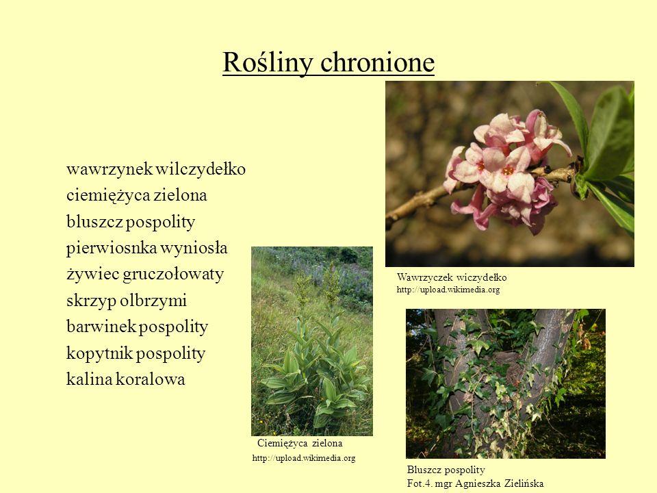 Rośliny chronione wawrzynek wilczydełko ciemiężyca zielona bluszcz pospolity pierwiosnka wyniosła żywiec gruczołowaty skrzyp olbrzymi barwinek pospoli