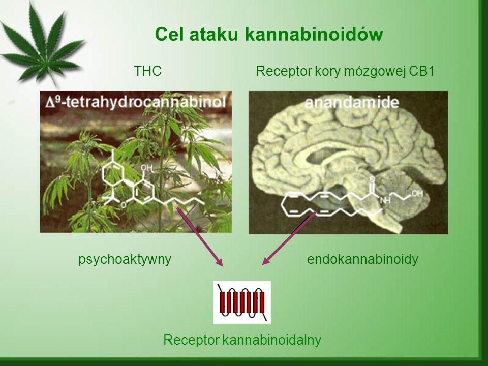 Cel ataku kannabinoidów Receptor kannabinoidalny THCReceptor kory mózgowej CB1 psychoaktywnyendokannabinoidy