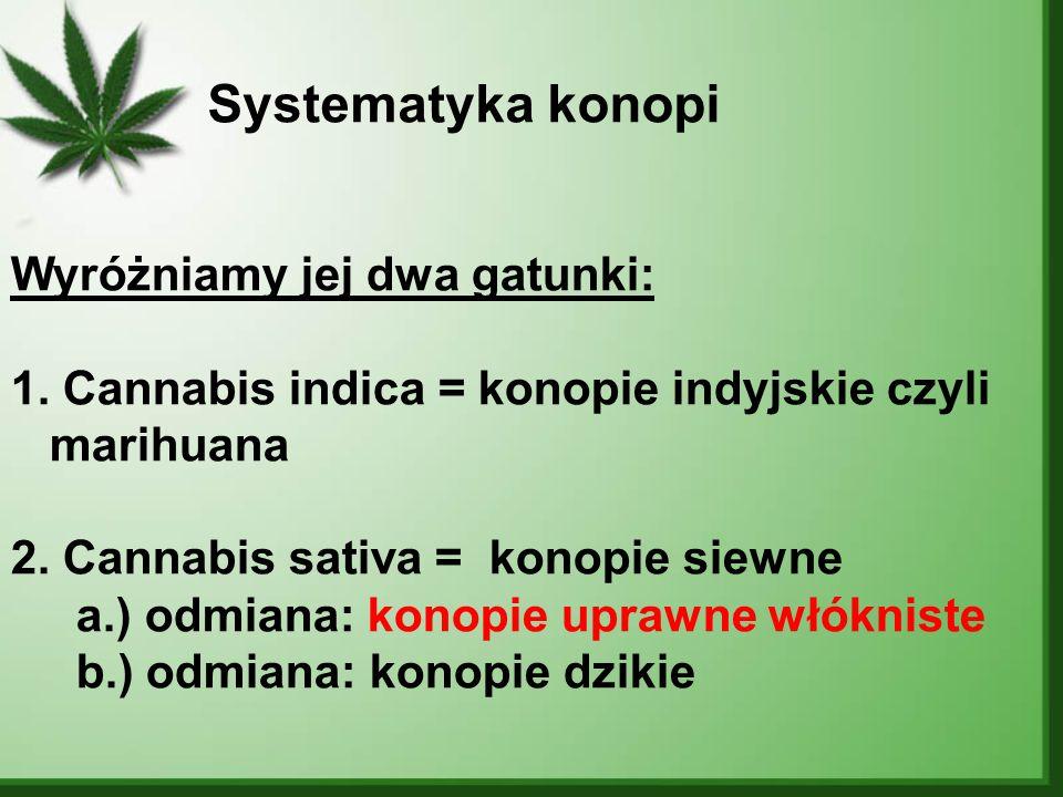 Systematyka konopi Wyróżniamy jej dwa gatunki: 1. Cannabis indica = konopie indyjskie czyli marihuana 2. Cannabis sativa = konopie siewne a.) odmiana:
