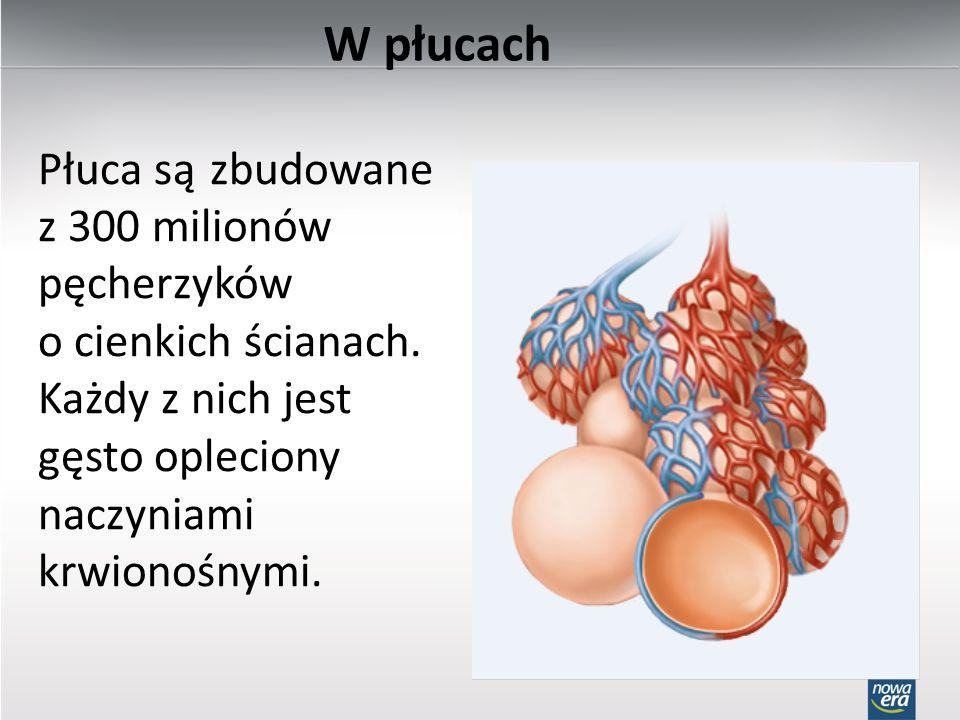 W płucach Płuca są zbudowane z 300 milionów pęcherzyków o cienkich ścianach. Każdy z nich jest gęsto opleciony naczyniami krwionośnymi.