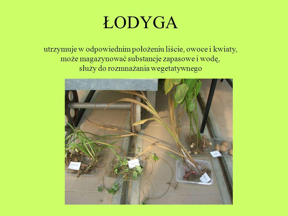 ŁODYGA utrzymuje w odpowiednim położeniu liście, owoce i kwiaty, może magazynować substancje zapasowe i wodę, służy do rozmnażania wegetatywnego