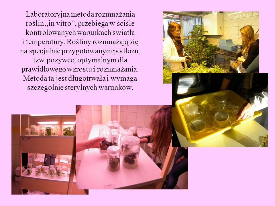 Laboratoryjna metoda rozmnażania roślin in vitro, przebiega w ściśle kontrolowanych warunkach światła i temperatury. Rośliny rozmnażają się na specjal