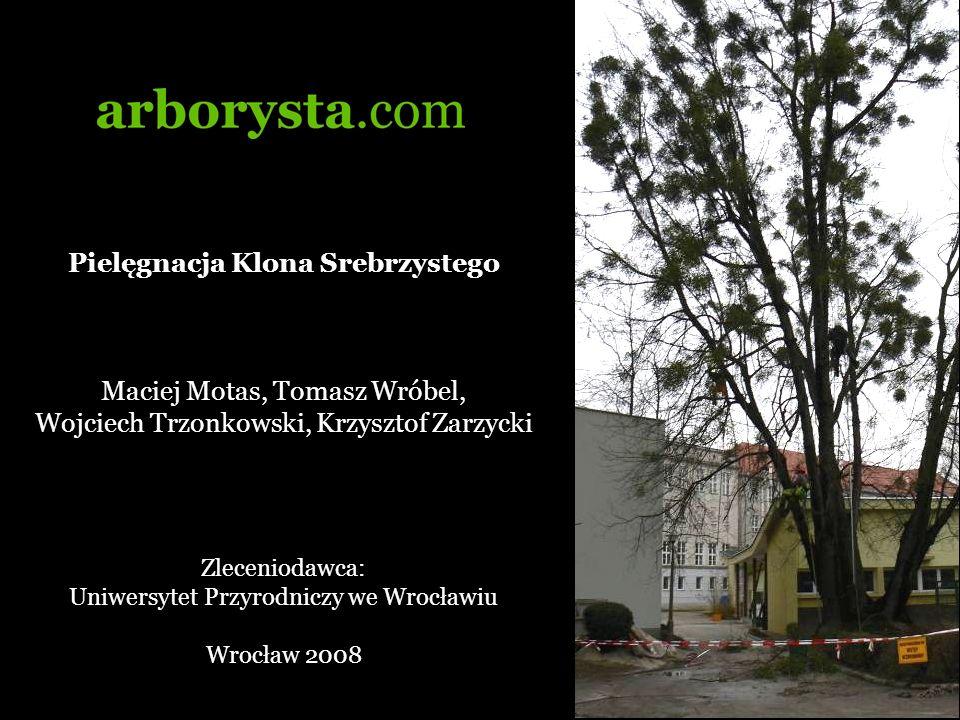 Drzewa Sześć Kolonów Srebrzystych (Acer sacharinum) zrośniętych u podstawy pni, porażonych jemiołą.