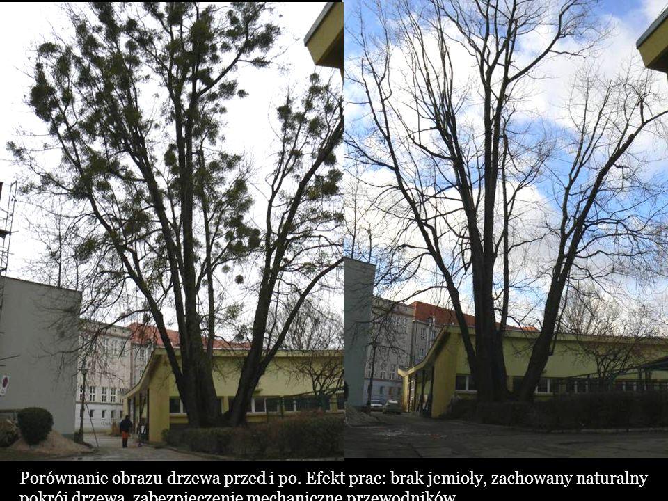 Porównanie obrazu drzewa przed i po. Efekt prac: brak jemioły, zachowany naturalny pokrój drzewa, zabezpieczenie mechaniczne przewodników.