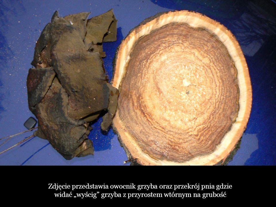 Zdjęcie przedstawia owocnik grzyba oraz przekrój pnia gdzie widać wyścig grzyba z przyrostem wtórnym na grubość
