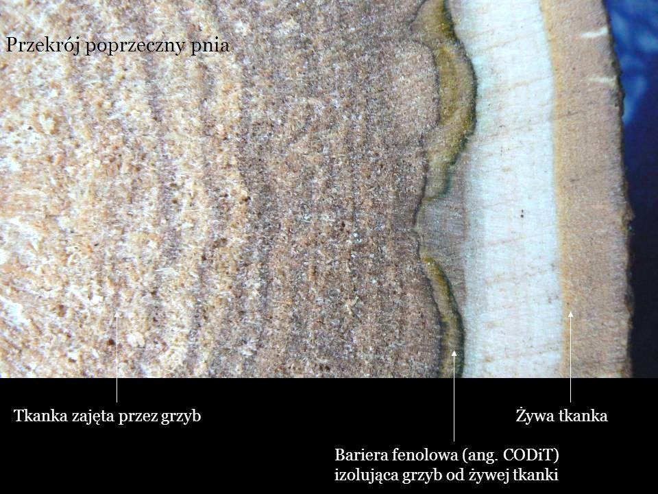 Bariera fenolowa (ang. CODiT) izolująca grzyb od żywej tkanki Przekrój poprzeczny pnia Żywa tkankaTkanka zajęta przez grzyb