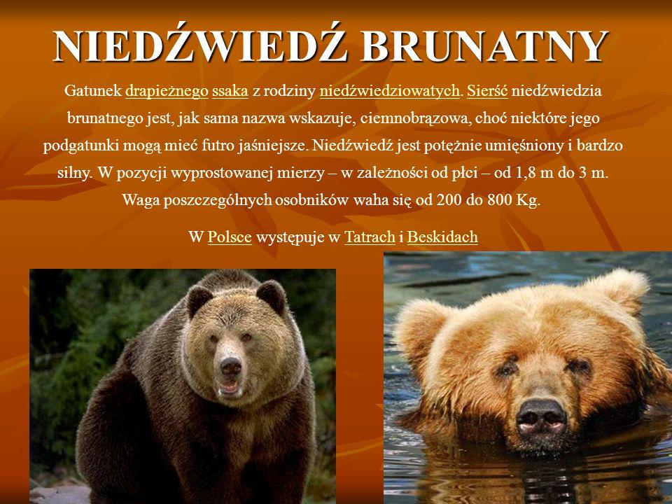 NIEDŹWIEDŹ BRUNATNY Gatunek drapieżnego ssaka z rodziny niedźwiedziowatych.