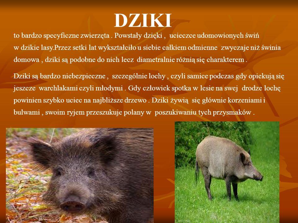 DZIKI to bardzo specyficzne zwierzęta.