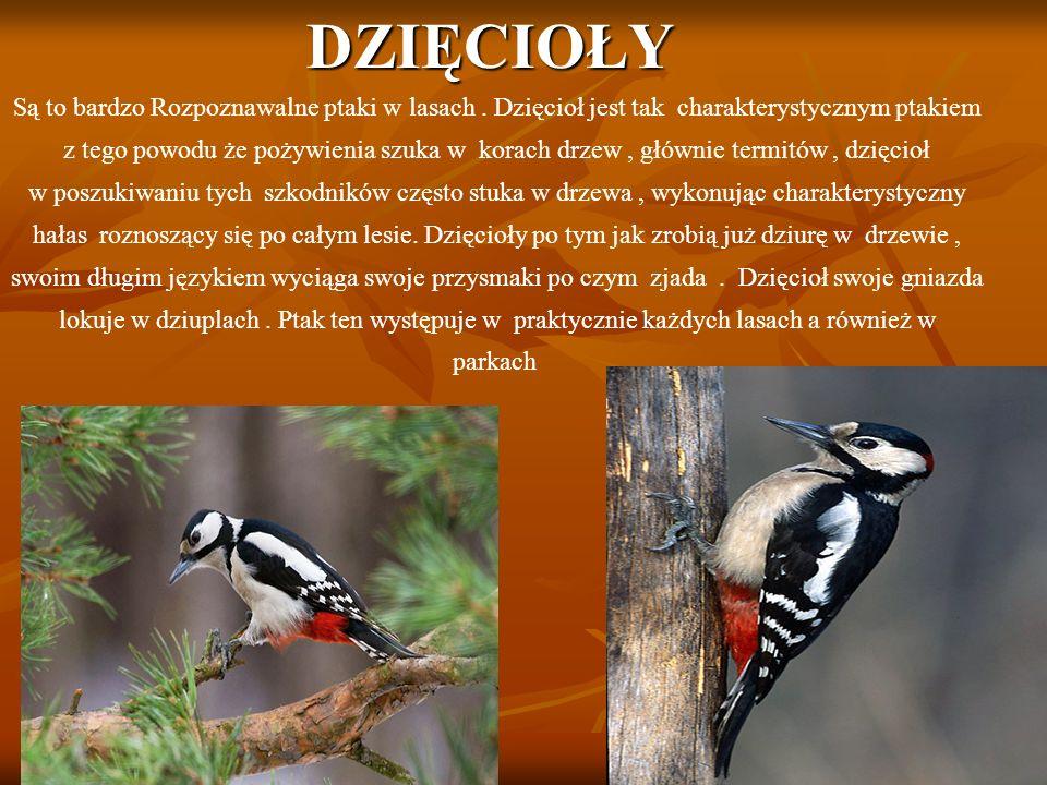 DZIĘCIOŁY Są to bardzo Rozpoznawalne ptaki w lasach.