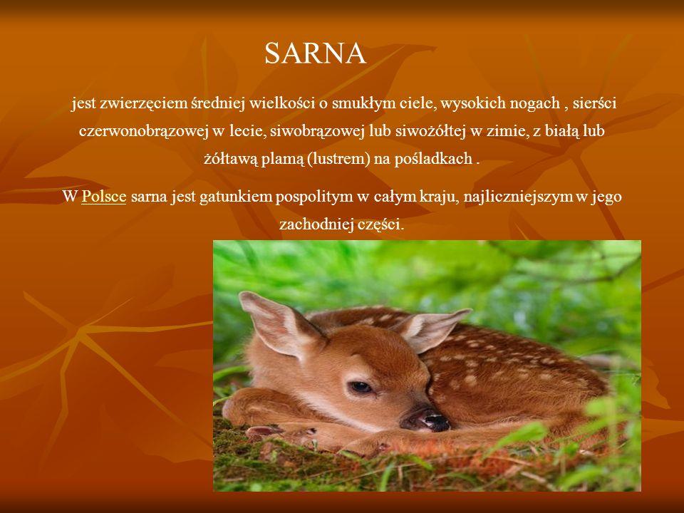 SARNA jest zwierzęciem średniej wielkości o smukłym ciele, wysokich nogach, sierści czerwonobrązowej w lecie, siwobrązowej lub siwożółtej w zimie, z białą lub żółtawą plamą (lustrem) na pośladkach.