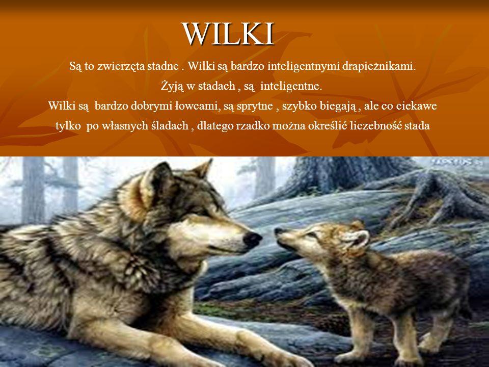 WILKI Są to zwierzęta stadne.Wilki są bardzo inteligentnymi drapieżnikami.