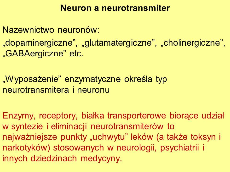 Neuron a neurotransmiter Nazewnictwo neuronów: dopaminergiczne, glutamatergiczne, cholinergiczne, GABAergiczne etc. Wyposażenie enzymatyczne określa t