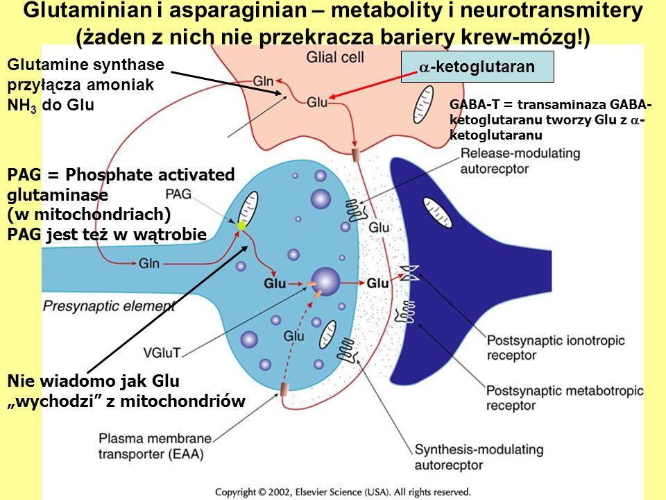 PAG = Phosphate activated glutaminase (w mitochondriach) PAG jest też w wątrobie Glutamine synthase przyłącza amoniak NH 3 do Glu GABA-T = transaminaza GABA- ketoglutaranu tworzy Glu z - ketoglutaranu Glutaminian i asparaginian – metabolity i neurotransmitery (żaden z nich nie przekracza bariery krew-mózg!) Nie wiadomo jak Glu wychodzi z mitochondriów -ketoglutaran