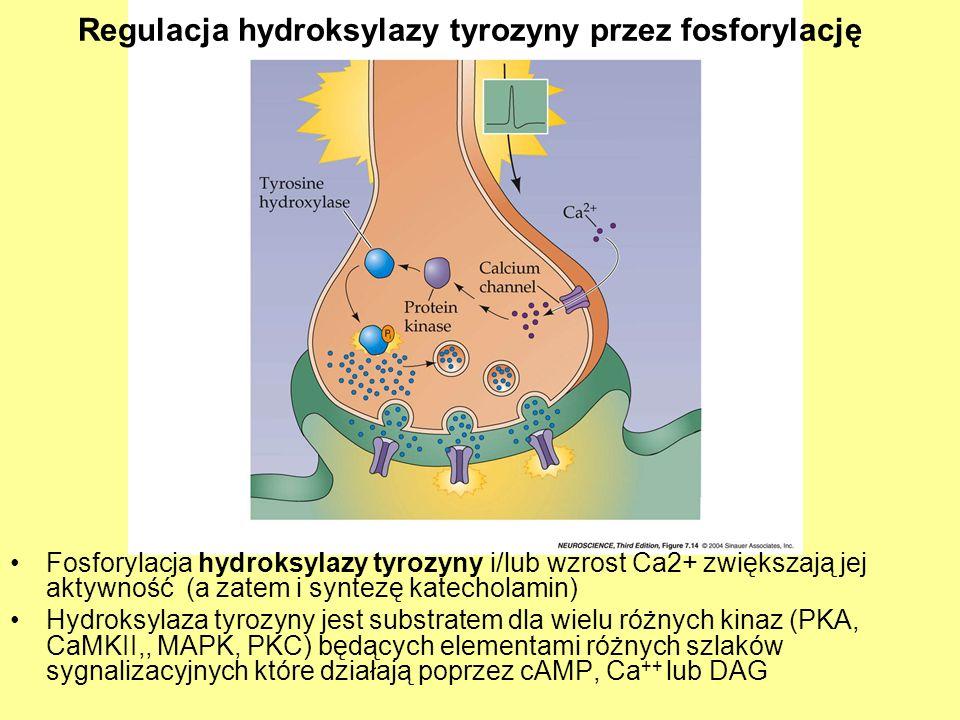 Regulacja hydroksylazy tyrozyny przez fosforylację Fosforylacja hydroksylazy tyrozyny i/lub wzrost Ca2+ zwiększają jej aktywność (a zatem i syntezę katecholamin) Hydroksylaza tyrozyny jest substratem dla wielu różnych kinaz (PKA, CaMKII,, MAPK, PKC) będących elementami różnych szlaków sygnalizacyjnych które działają poprzez cAMP, Ca ++ lub DAG