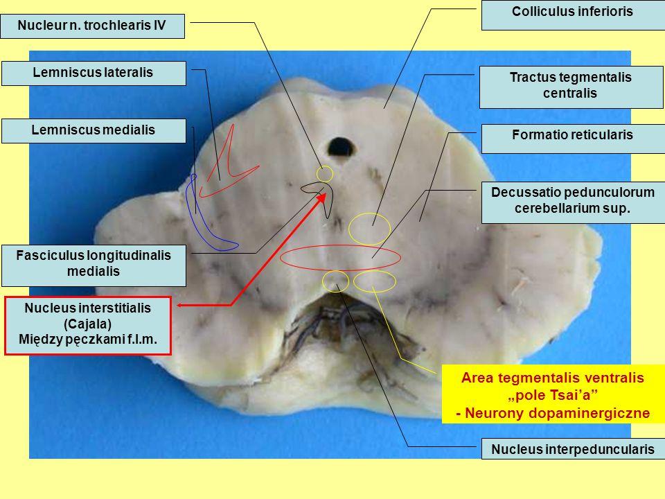 Lemniscus lateralis Lemniscus medialis Fasciculus longitudinalis medialis Tractus tegmentalis centralis Decussatio pedunculorum cerebellarium sup.