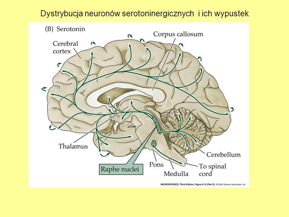 Dystrybucja neuronów serotoninergicznych i ich wypustek