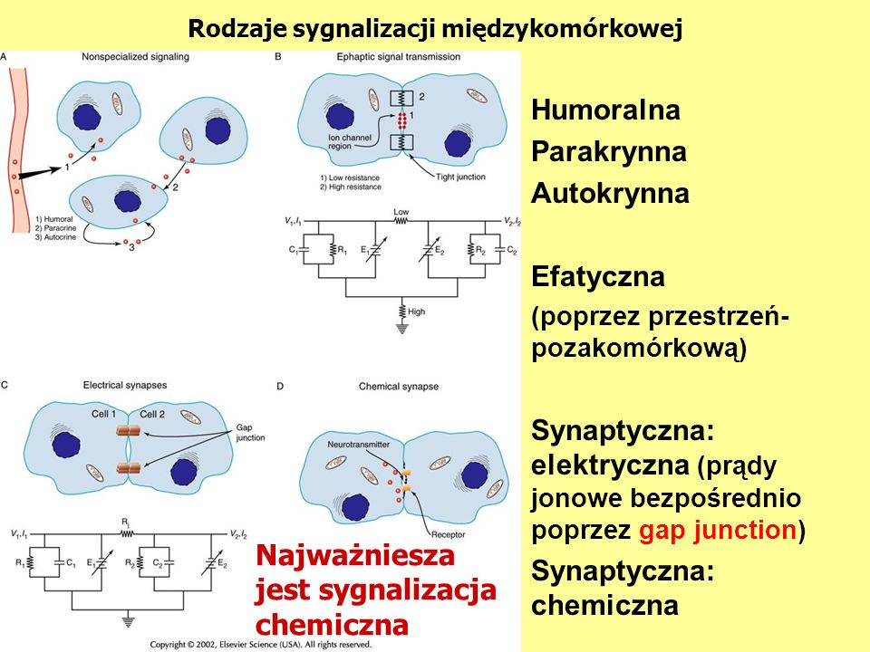 Humoralna Parakrynna Autokrynna Efatyczna (poprzez przestrzeń- pozakomórkową) Synaptyczna: elektryczna (prądy jonowe bezpośrednio poprzez gap junction) Synaptyczna: chemiczna Najważniesza jest sygnalizacja chemiczna Rodzaje sygnalizacji międzykomórkowej