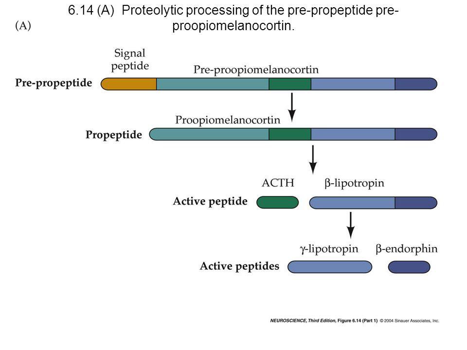 6.14 (A) Proteolytic processing of the pre-propeptide pre- proopiomelanocortin.