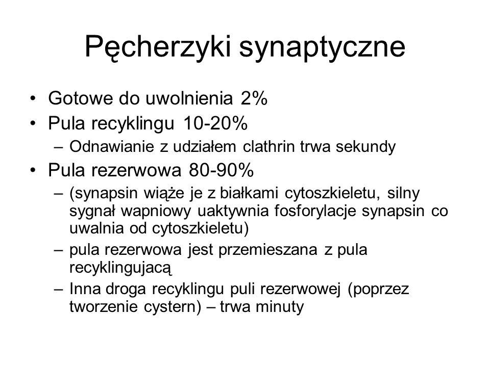 Pęcherzyki synaptyczne Gotowe do uwolnienia 2% Pula recyklingu 10-20% –Odnawianie z udziałem clathrin trwa sekundy Pula rezerwowa 80-90% –(synapsin wi