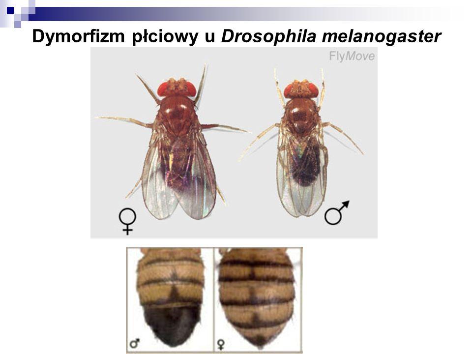 Dymorfizm płciowy u Drosophila melanogaster
